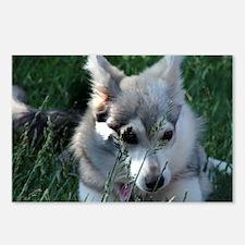 Alaskan Klee Kai hiding in grass Postcards (Packag