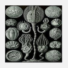 Ernst Haeckel's Cystoidea Tile Coaster