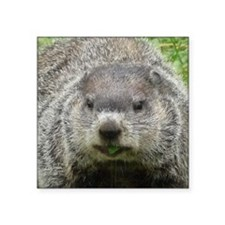 "Groundhog Eating Square Sticker 3"" x 3"""