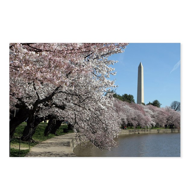 Peal bloom cherry blossom frames Washington Monume by ...