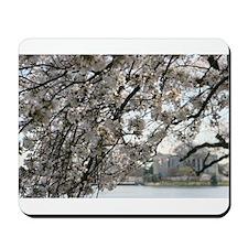 Peal bloom cherry blossom frames Thomas Jefferson