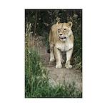 Lioness Mini Poster Print