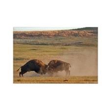 Bulls Clash in Wind Cave National Park Rectangle M