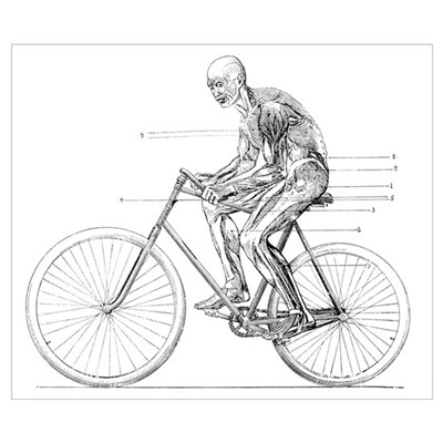 Muscles used in cycling, 19th century Poster
