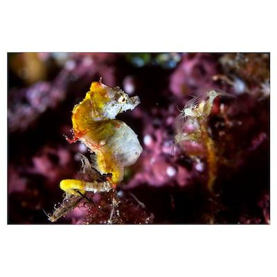 Pontohi pygmy seahorse Poster