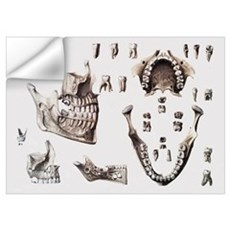 Dental anatomy Wall Decal