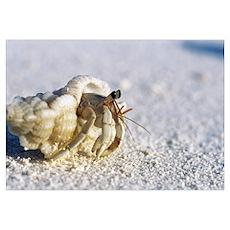 Juvenile land hermit crab Poster