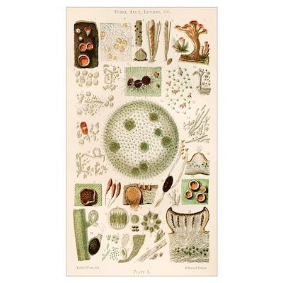 Plant and fungi microscopy, 19th century Poster