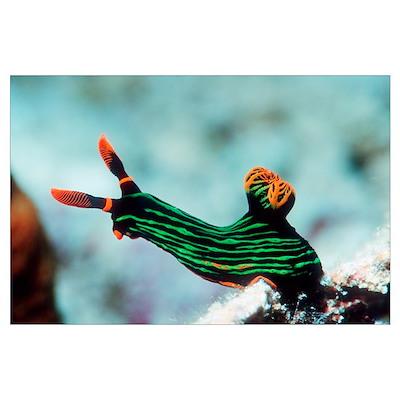 Nembrotha kubaryana sea slug Poster