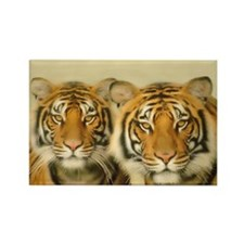 Two Tigers Staring Rectangle Magnet