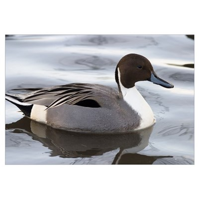 Pintail Framed Print
