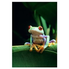 Red-eyed tree frog Framed Print