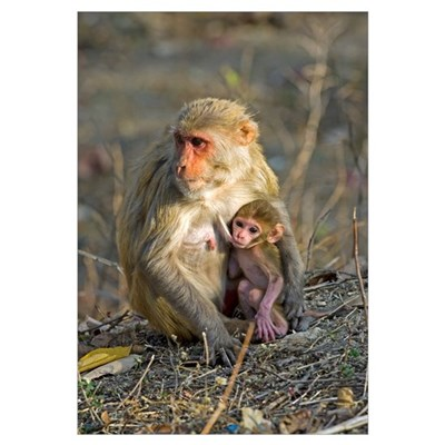 Rhesus monkeys Framed Print