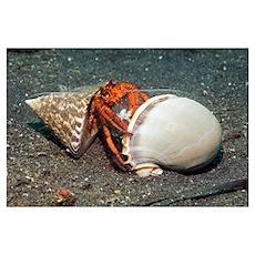 Scarlet hermit crab Poster