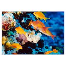 Sea goldie fish Poster