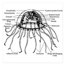Diagram Of Jellyfish 5.25 x 5.25 Flat Cards