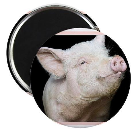 Cutest Pig Magnet