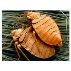 SEM of bed bugs Poster