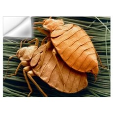 SEM of bed bugs Wall Decal