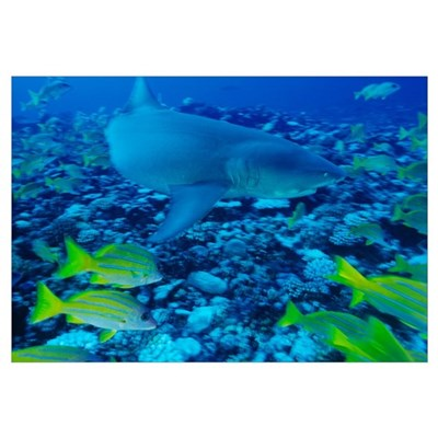 Sicklefin lemon shark Framed Print