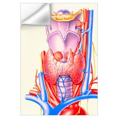 Artwork showing the thyroid gland Wall Decal