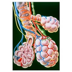 Illustration of lung bronchioles and alveoli Poster