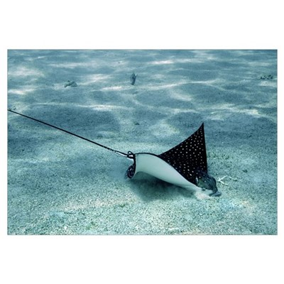 Spotted eagle ray Canvas Art