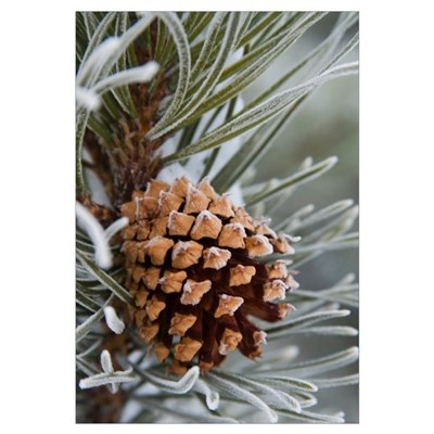Close-Up image of frost-covered pine cone on branc Framed Print