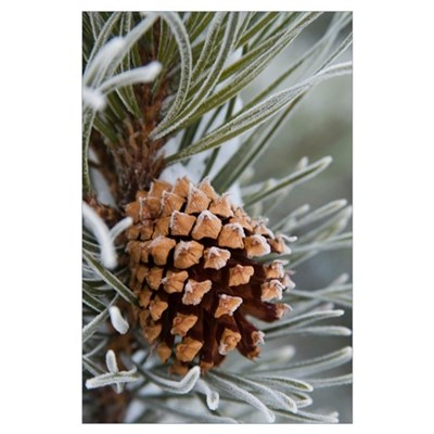 Close-Up image of frost-covered pine cone on branc Poster