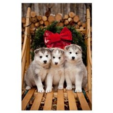 Siberian Husky puppies in traditional wooden dog s Poster