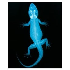 X-ray of a gecko lizard Poster