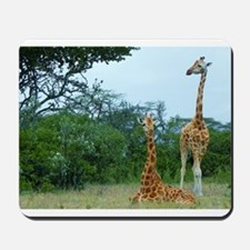 rothschild giraffe pair at soysambu kenya collecti