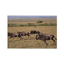 wildebeest running kenya collection Rectangle Magn