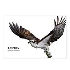 Osprey Postcards (Package of 8)