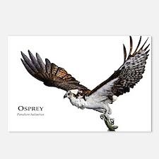 Osprey Postcards (Package of 8)