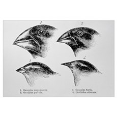 Diagram of beaks of Galapagos finches by Darwin Framed Print