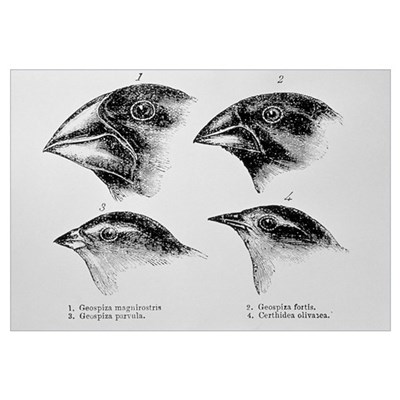 Diagram of beaks of Galapagos finches by Darwin Poster