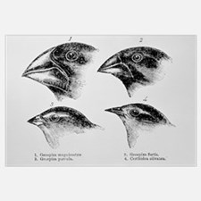 Diagram of beaks of Galapagos finches by Darwin