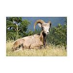 Bighorn Ram Mini Poster Print