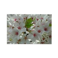 Cherry Blossoms 5 Rectangle Magnet
