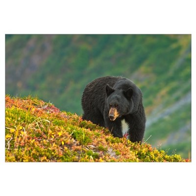 A black bear foraging for berries on a hillside ne Canvas Art