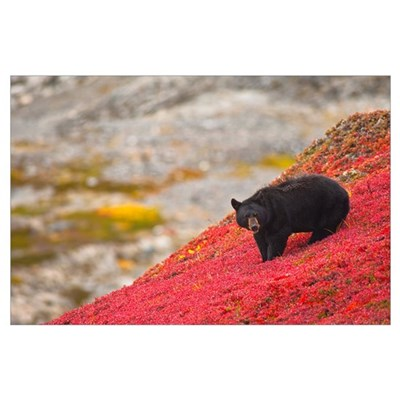 Black bear foraging for berries on a bright red pa Poster