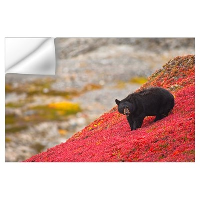Black bear foraging for berries on a bright red pa Wall Decal