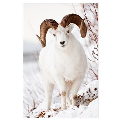 Front view of a full-curl Dall sheep ram, Chugach Poster