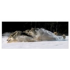 Pack of Grey Wolves Running Through Deep Snow Canvas Art