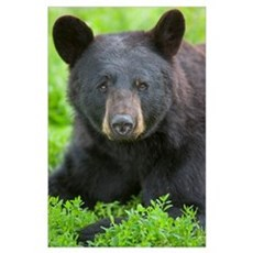 Portrait of a Black Bear at the Alaska Wildlife Co Poster
