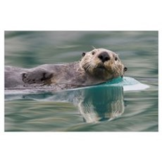 Sea otter swimming in glassy calm green water with Poster
