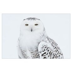 Snowy Owl standing on snow, Saint-Barthelemy, Queb Poster