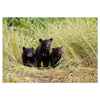 Three Black bear cubs sit on the grass covered sho Canvas Art