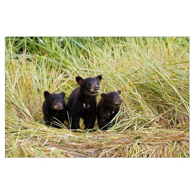 Three Black bear cubs sit on the grass covered sho Poster